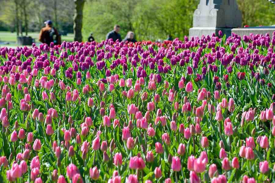 bloembollen voorjaarsbloeier
