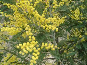 mimosa vrouwendag