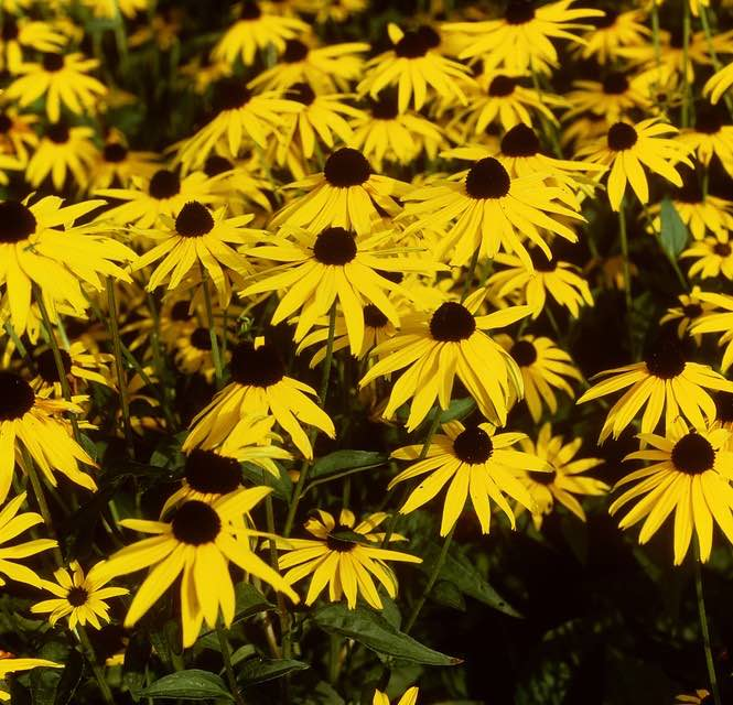 langbloeiende vaste planten