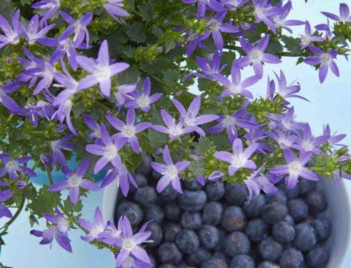 De bij wordt blij van bloeiende campanula
