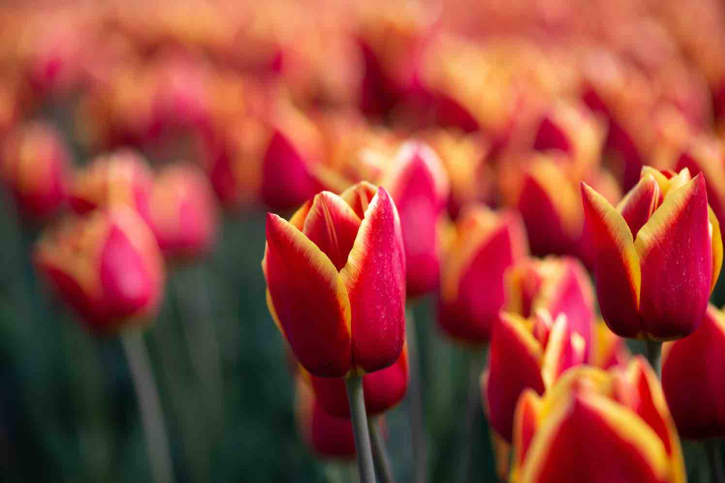 tulp 'Stay Strong'