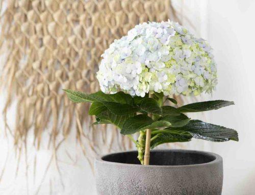 Plant bathing met rustgevende kamerhortensia