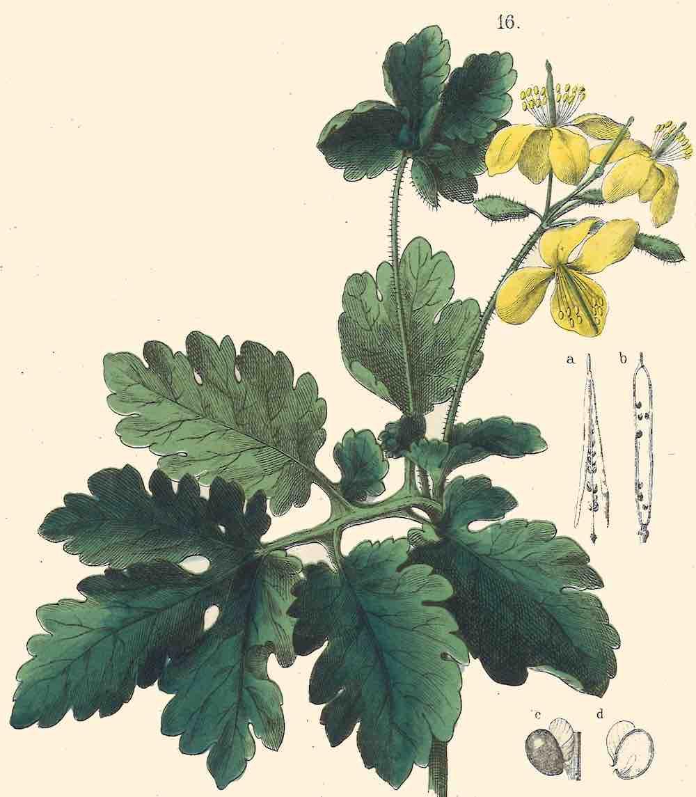 illustratie stoepplant