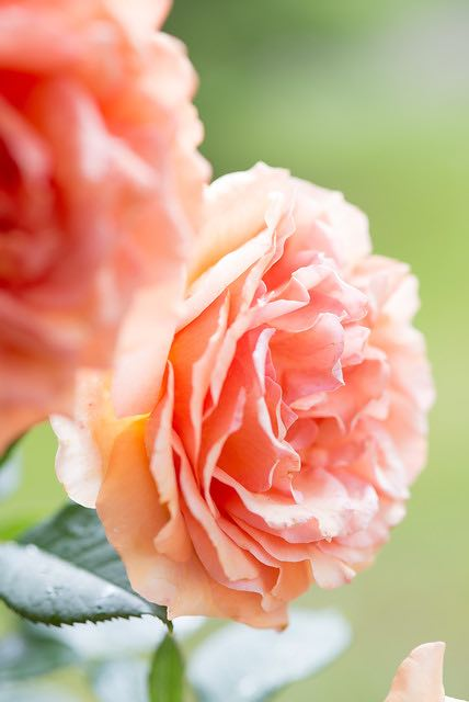 tuin en rozen
