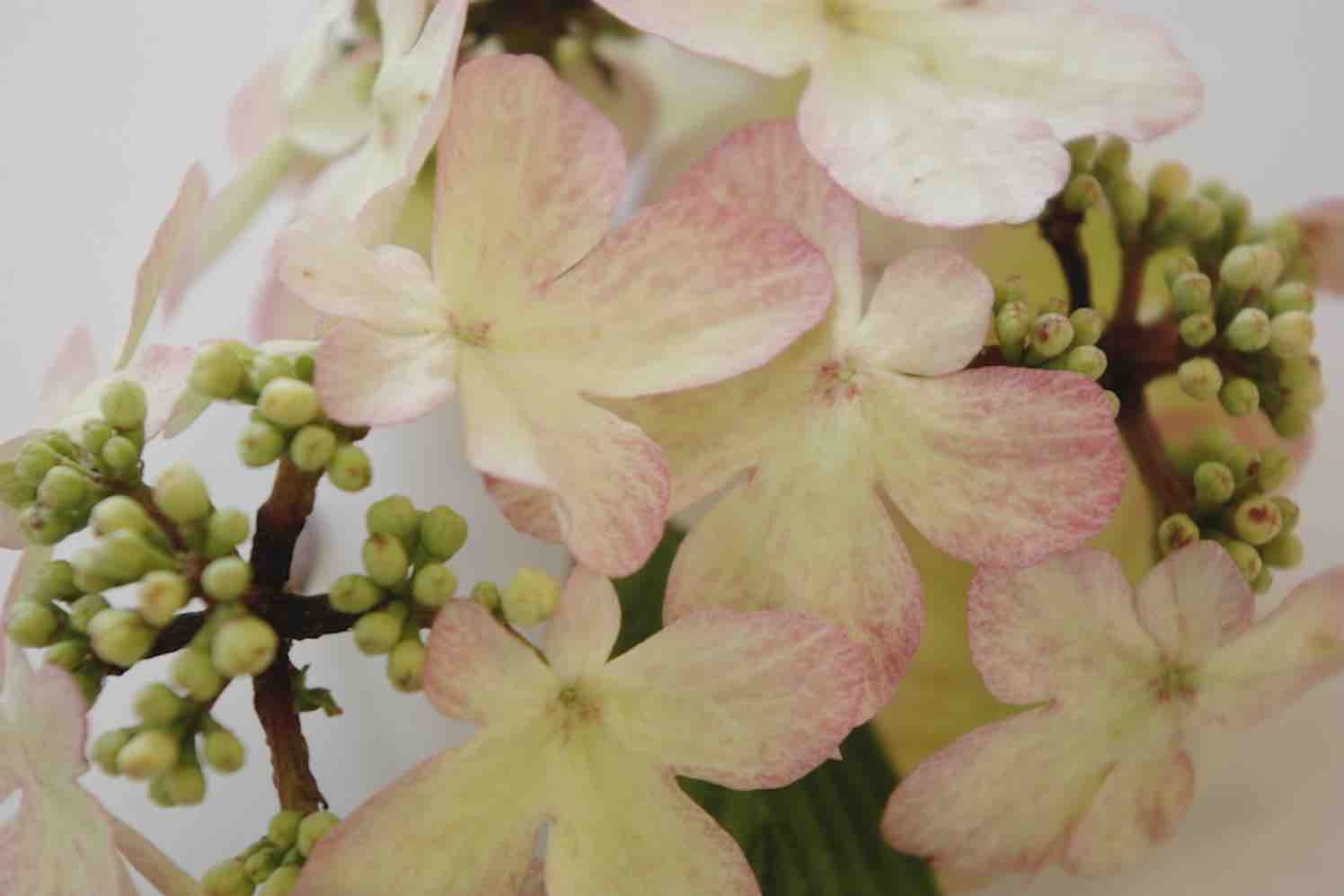 top 10 parelactie, viburnum