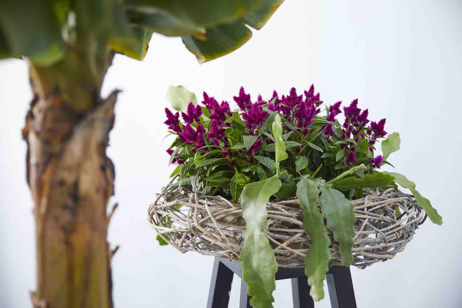 Celosia: Woonplant van de maand juli 2020