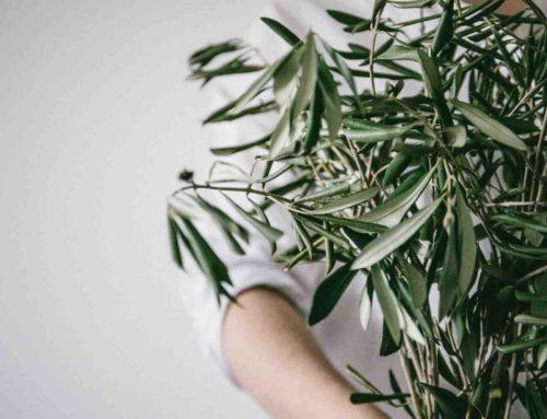 Olijfboom brengt de mediterranee in de achtertuin