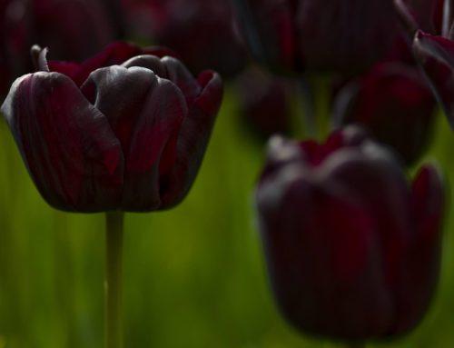 De Zwarte Tulp, het verhaal van een mythe
