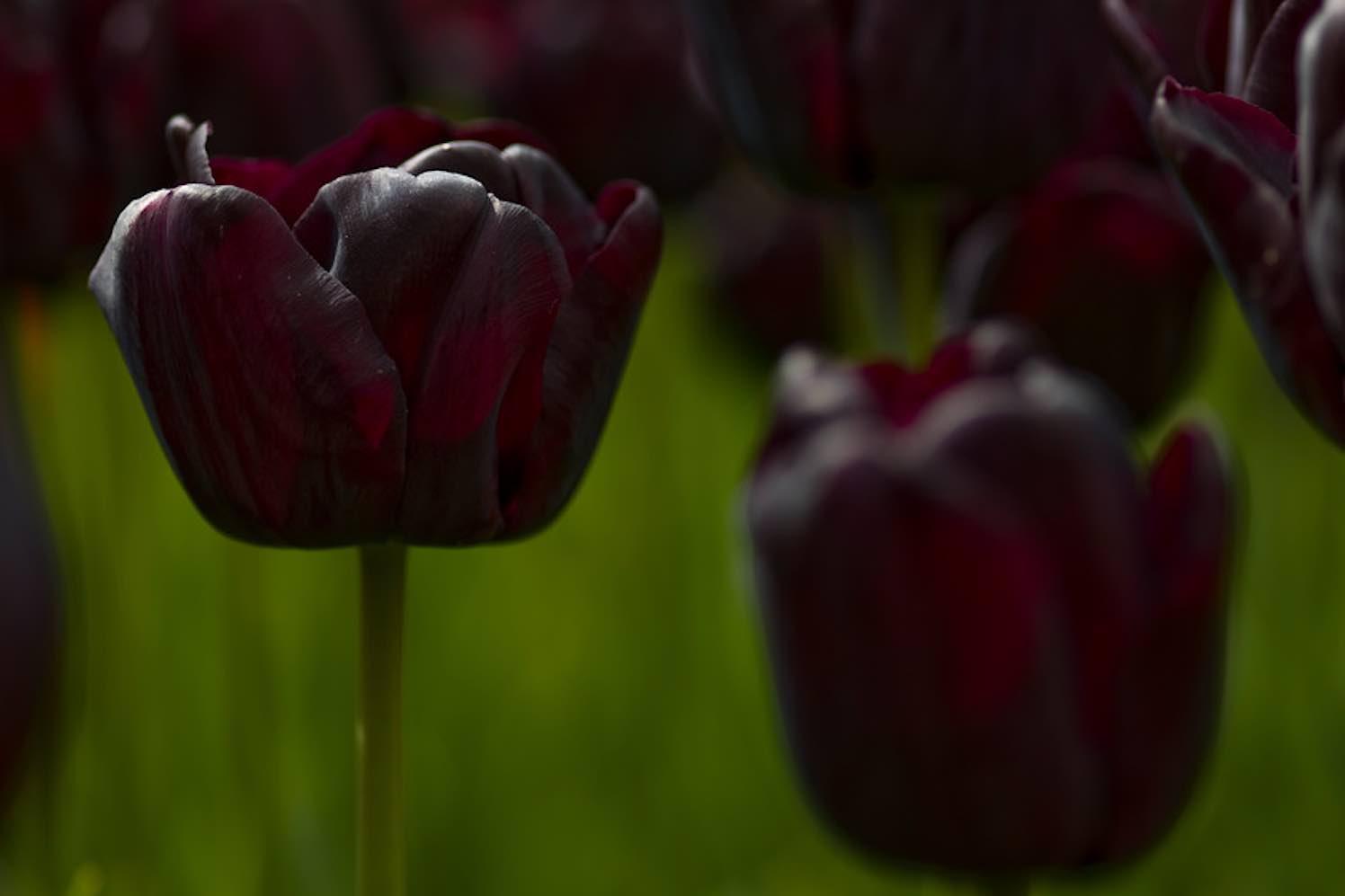 de zwarte tulp