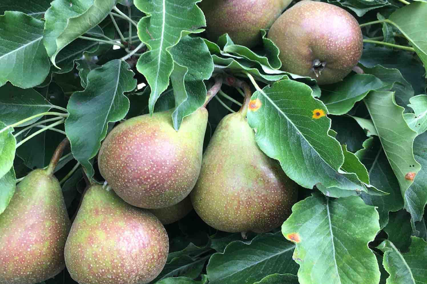 compact-fruit