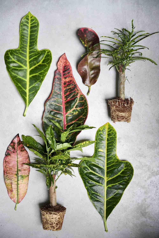 woonplant croton