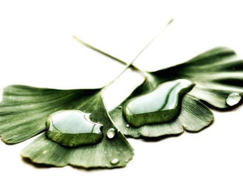 De medicinale krachten van de Ginkgo biloba