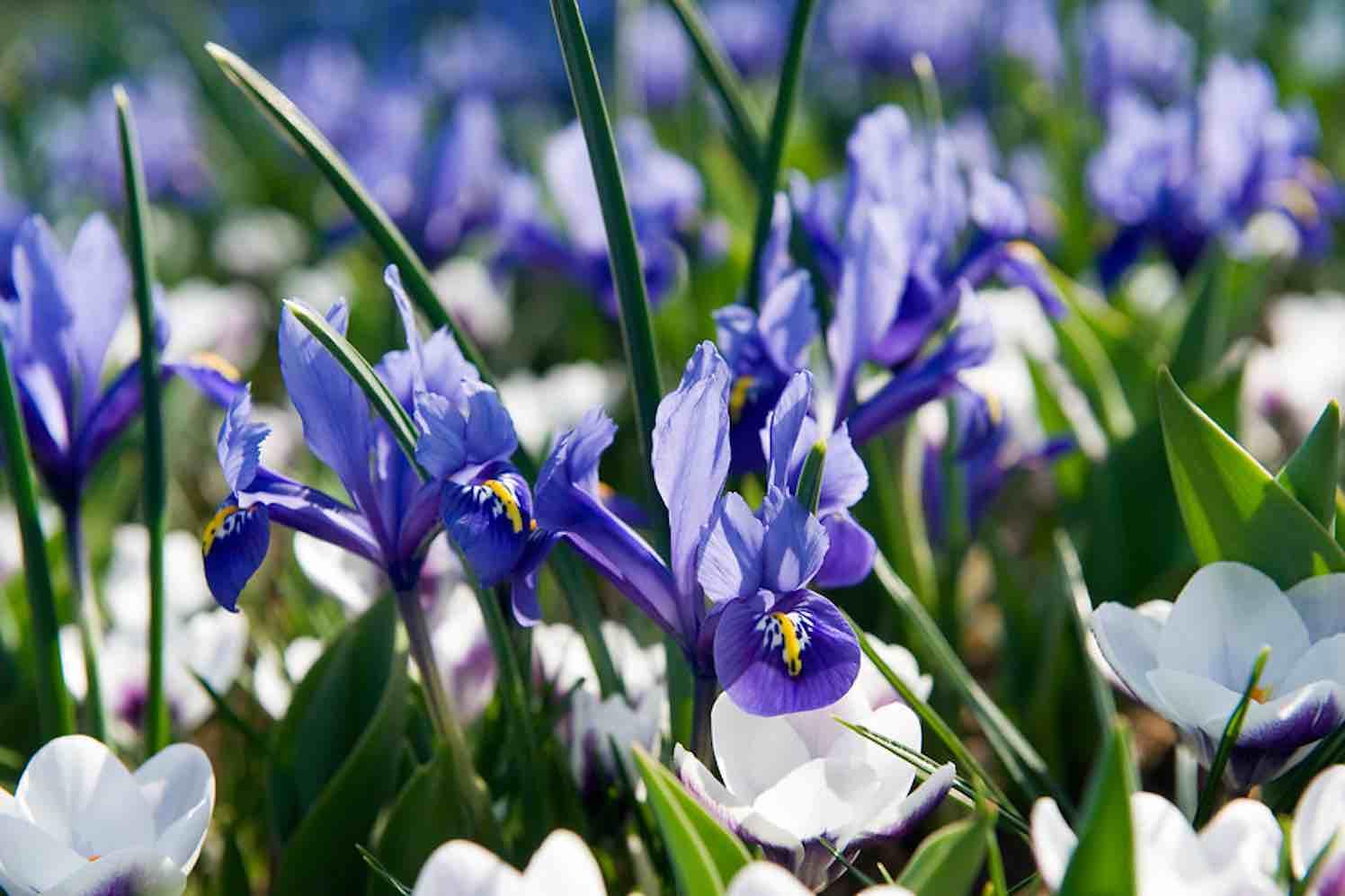 iris de mythische boodschapper