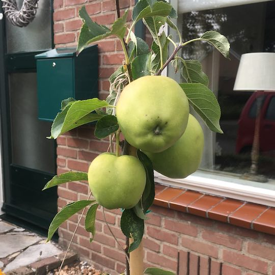 mini-fruitboom