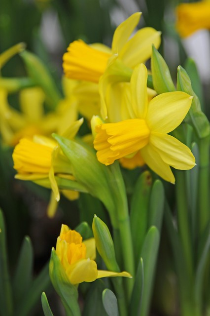 dwergnarcis narcissus tete a tete