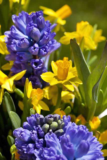 narcissus_hyacinthus