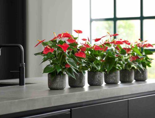 Esudo nieuwste rijkbloeiende potanthurium