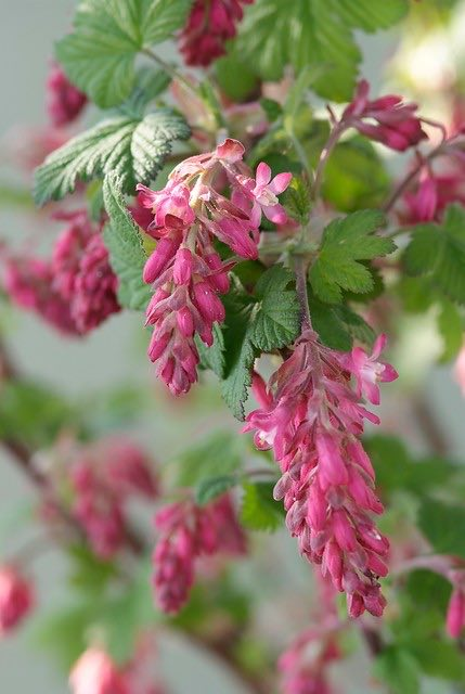 rode ribes