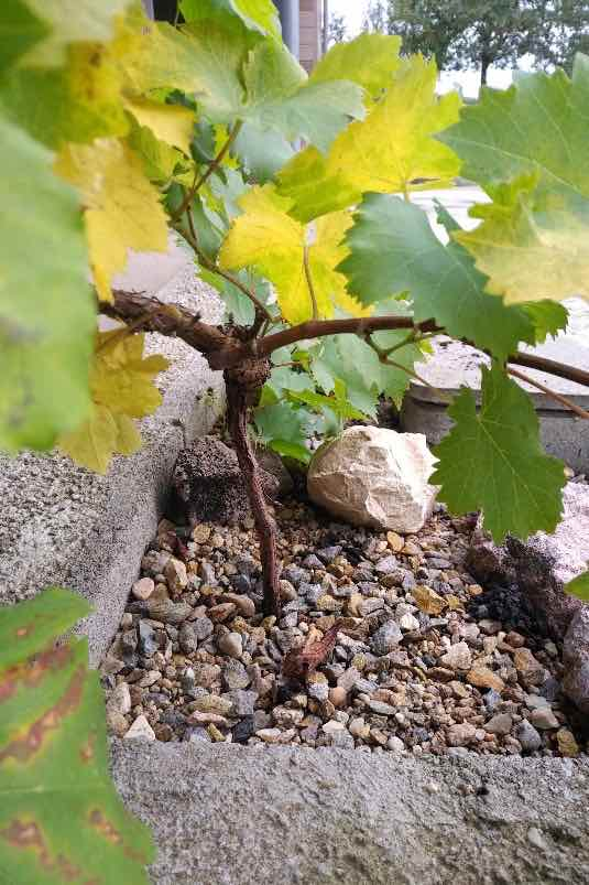 tuinieren-sireen-druiven