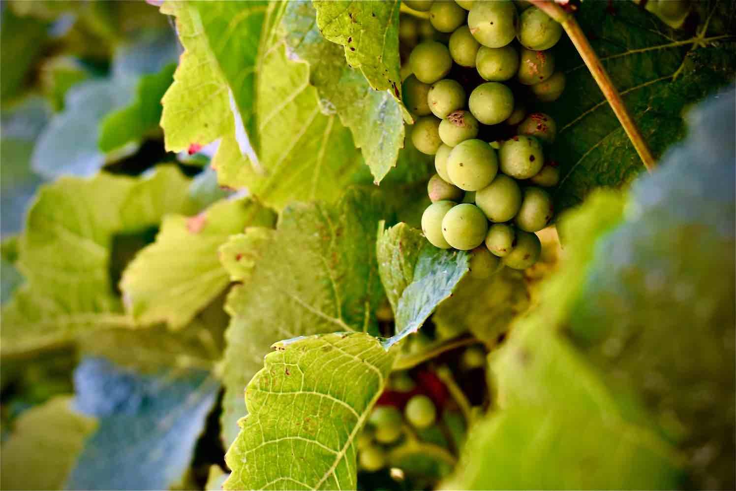 tuinieren-sireen-bisseling-druiven