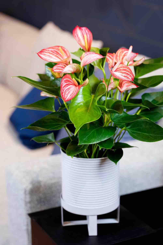 bloeiende woonplant