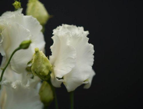 De elegante Lisianthus Falda White