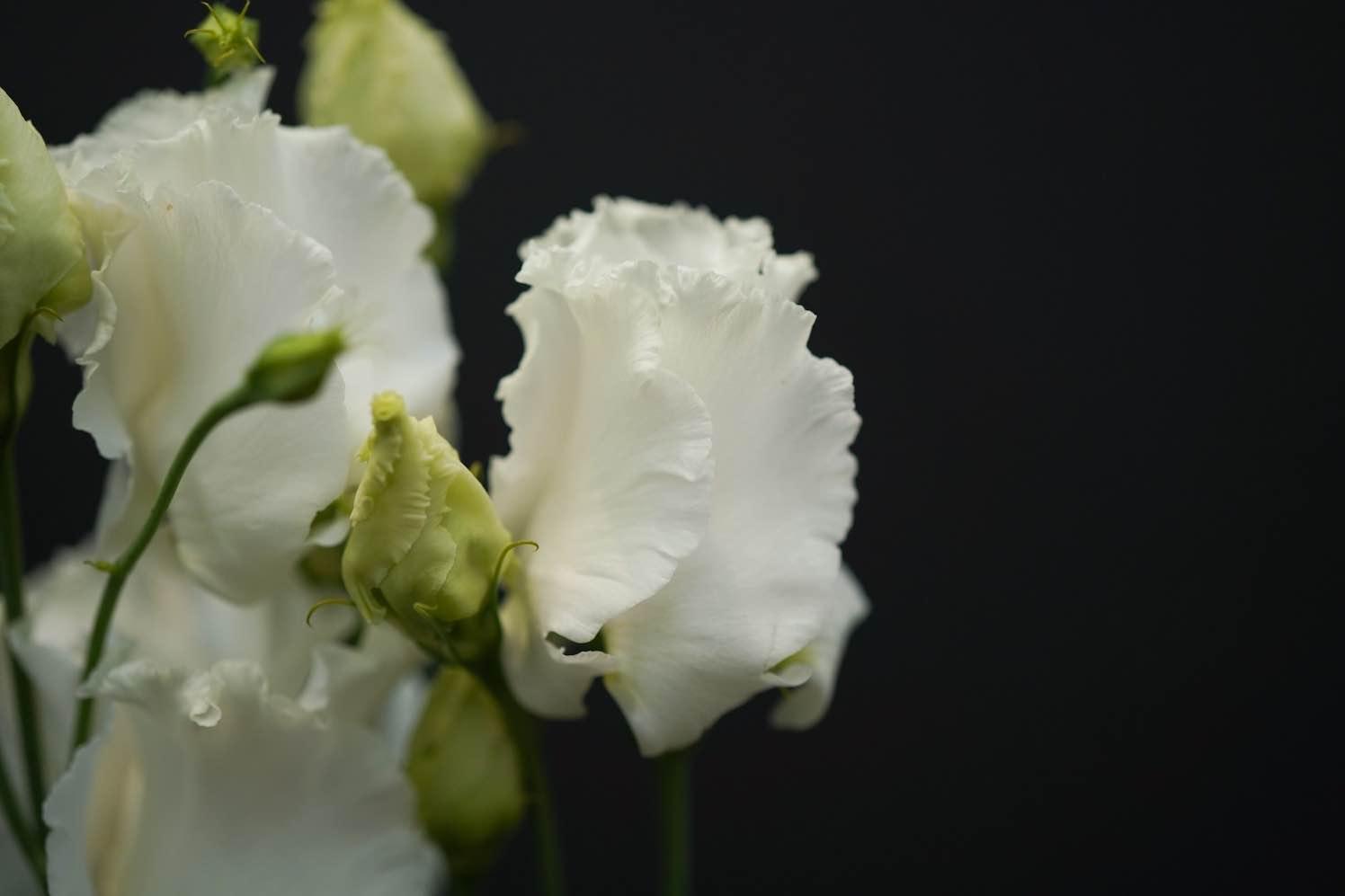 Lisianthus Falda White