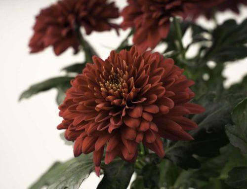Feestelijke rode pluischrysant Rabelo