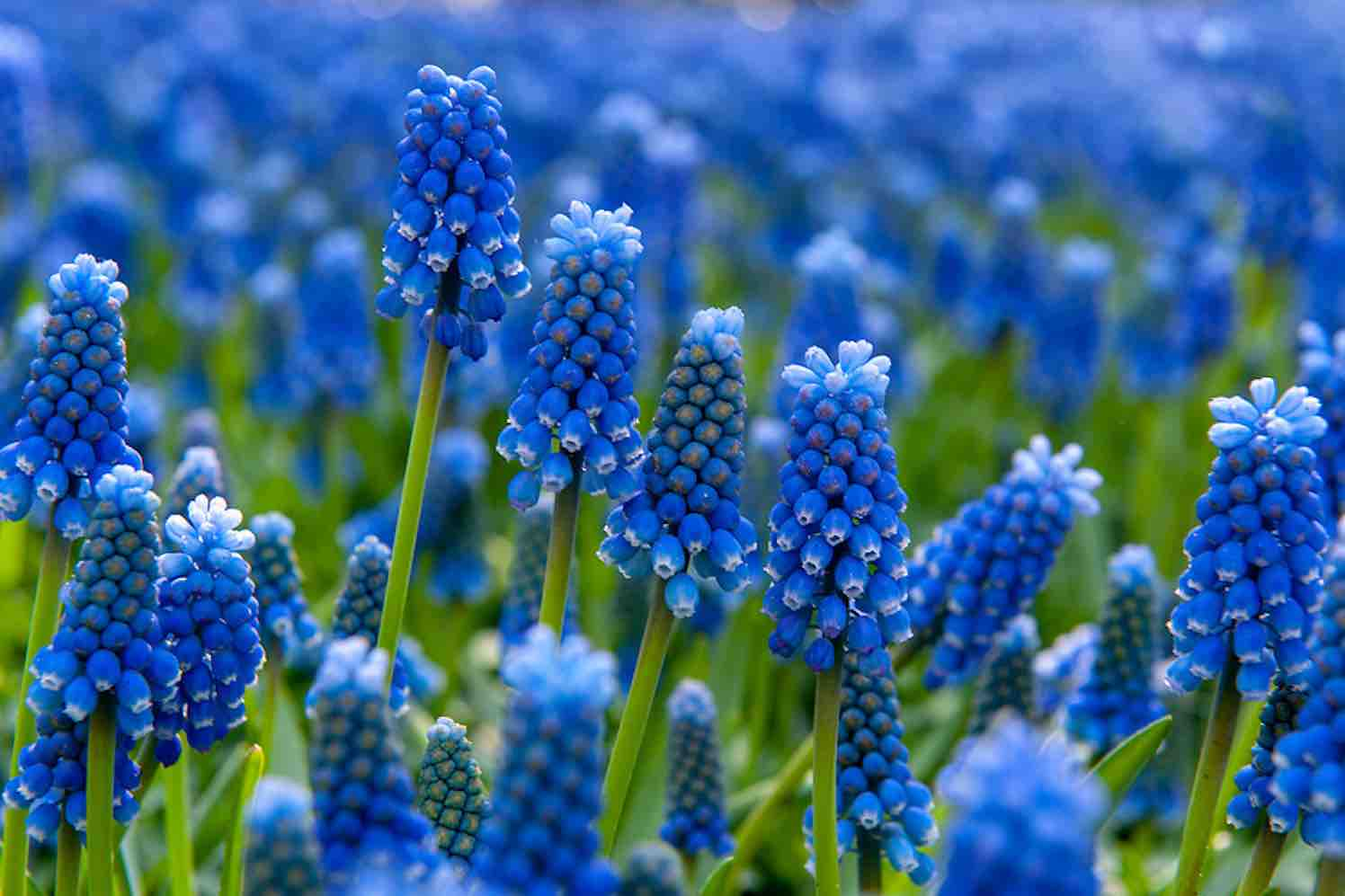 blauw-druifje