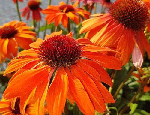 Een levende tuin door de kleurrijke Echinacea