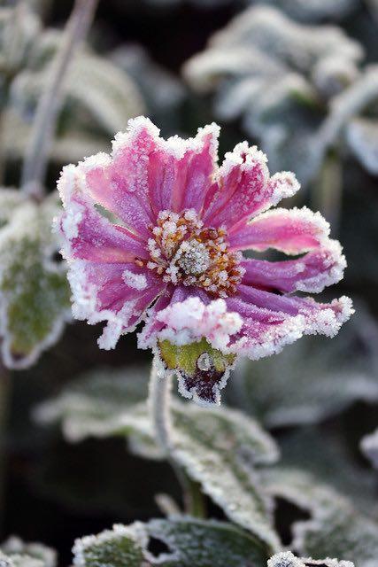 anemone pamina, sierplanten