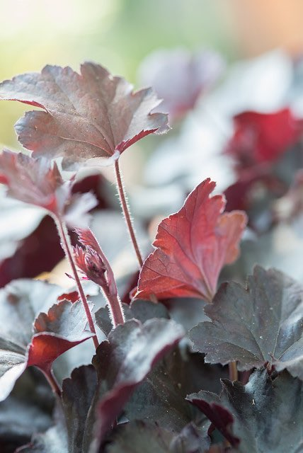 heuchera, sierplanten