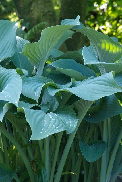 hosta nigrescens, hartlelie