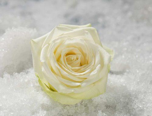 Roos Snowstorm, sneeuwwit en ijzersterk