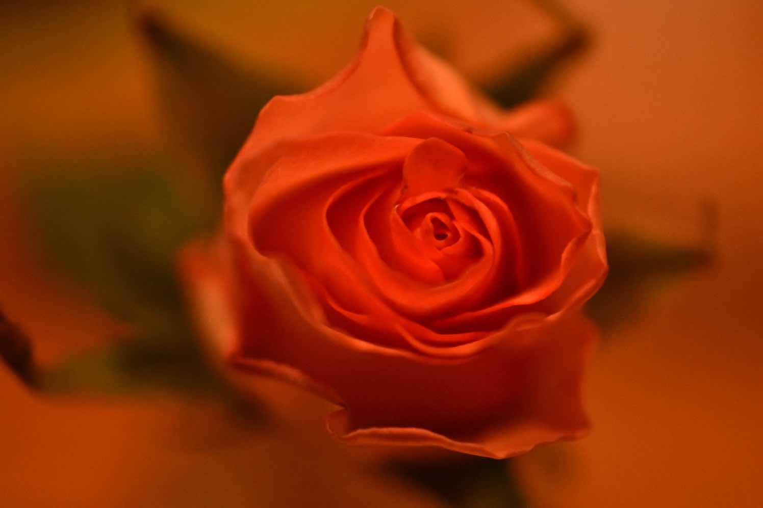 valentijn2021-roos-rrod