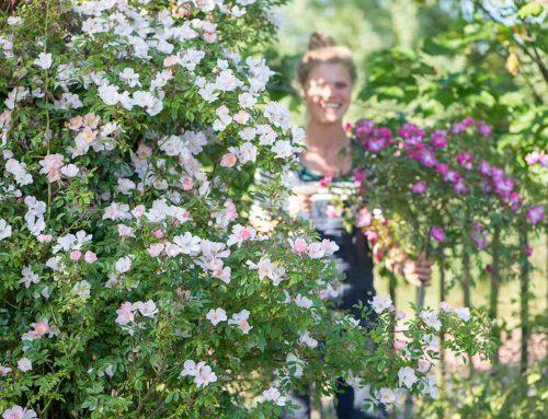 Geurende klimrozen voor maandenlange bloemenpracht