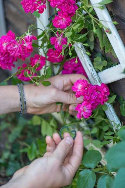 rozen hechten