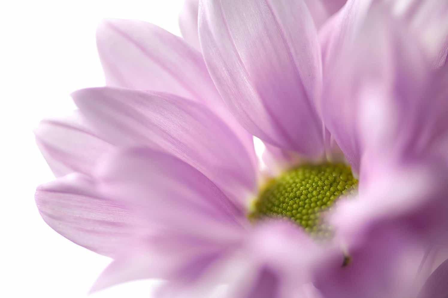 troschrysant Myra
