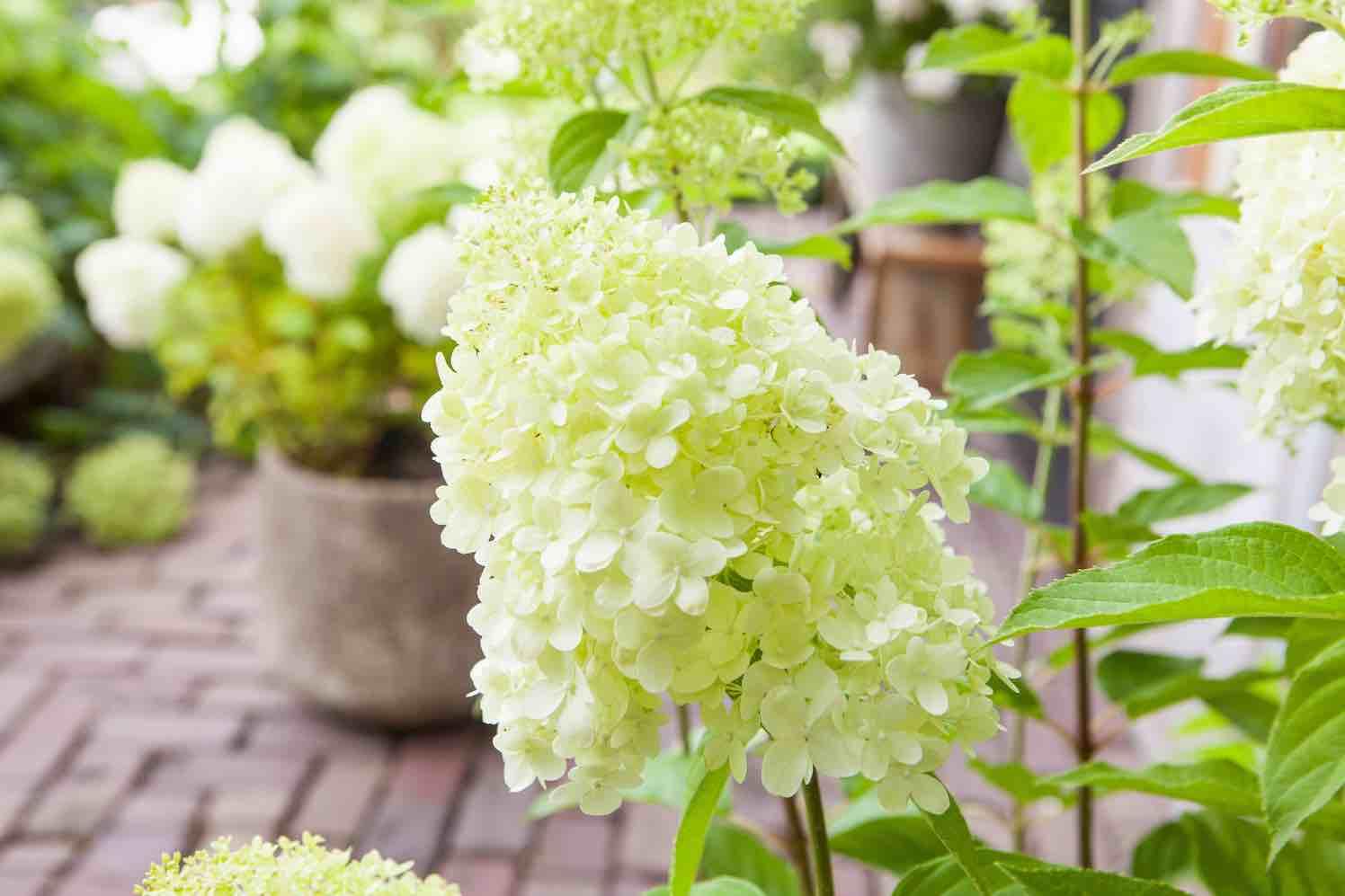 hortensia zomerhit