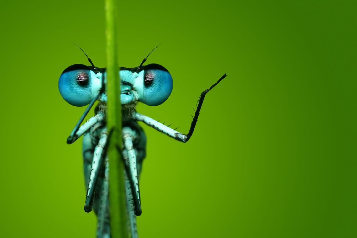 reizende insectenexpo azuurwaterjuffer