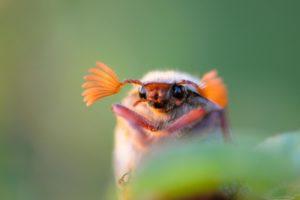 reizende insectenexpo meikever