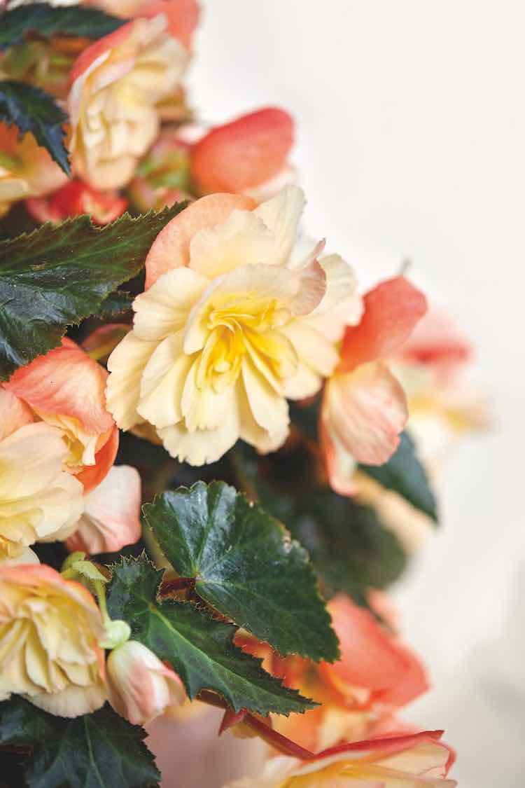Begonia I'CONIA Aroma Peach