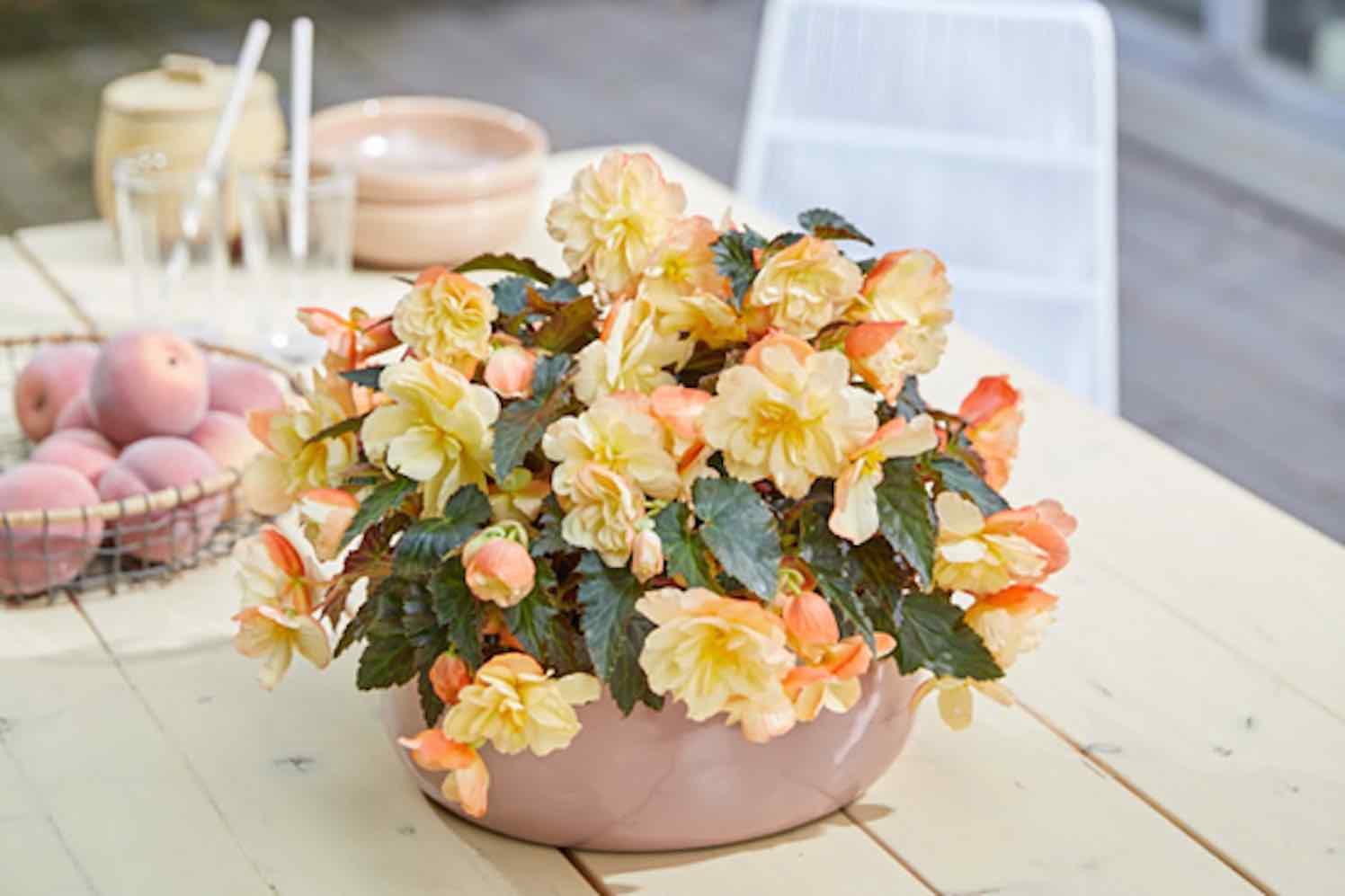 Begonia I CONIA Aroma Peach
