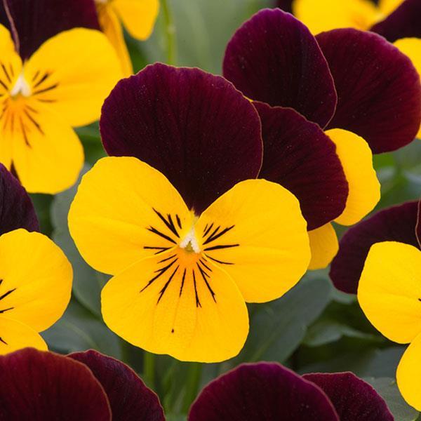 sorbetviolen xp yellow burgundy jump up