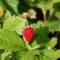 12 bodembedekkers, aardbeie